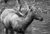 Pere Davids deer doe