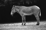zebra isolani