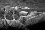 juvenile ibex