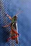 grasshopper on my screendoor