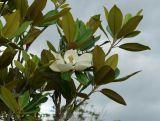 White magnolia flower (yulan)