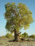 Old Poplar tree in Gurbantunggut Desert