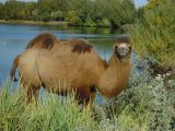 Camel, photo taken on the way to Beiting
