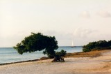 Divi tree in Aruba