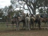 Back side of a camel