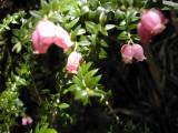 Flowers around Dove Lake