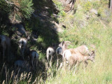 Mtn Goats Estes Park