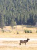 Elk Estes Park