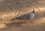 australian quail????