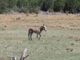 Wild burros of Northern Arizona about 100 live between Williams and Ashfork Arizona