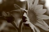 sunflowers 001.jpg