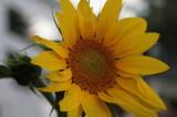 sunflowers 003.jpg