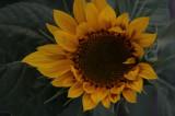 sunflowers 004.jpg
