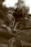 sunflowers 008.jpg