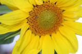 sunflowers 013.jpg