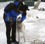 Friendly Sled Dogs