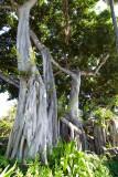 C4848 Banyans at the  Hulihe`e Palace
