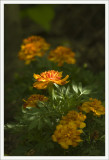 Marigolds in the Morning