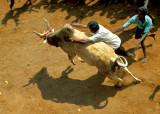 Taming the bull.