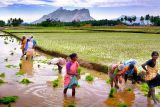Planting the rice