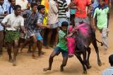 Jallikattu - Taming he bull