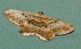 Rutellerona pseudocessaria