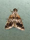 Salma sp.nr. melanobasis