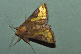 Trichoplusia orichalcea
