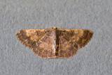 Peratophyga venetia