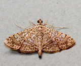 Glyphodes pulverulentalis