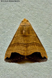 Bocula marginata