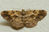 Psilalcis galsworthyi