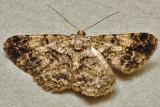Cleora sp