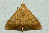 Crypsiptya coclesalis