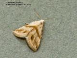 Eublemma rivula