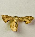 Phazaca theclata
