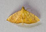 Hyalobathra sp. nr. auratalis