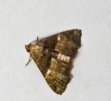 Targalla sp. nr. duplicilinea