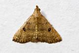 Progonia oileusalis