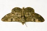 Cleora injectaria