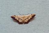 Idaea phaeocrossa