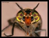 Flies (Deer)