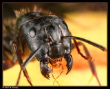 Black Ant with Jaws Open