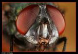 Flies (Bottle)