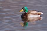 A male Mallard on Burnaby Lake, British Columbia