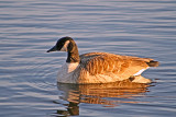 Canada Goose floating on Burnaby Lake