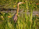 Great Blue Heron at Burnaby Lake