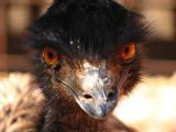Hello, I am an emu, Northern Australia