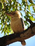 Kookaburra, Western Australia