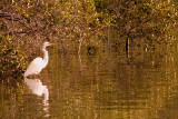 Egret in the Mangrove, Coff's Harbour, New South Wales